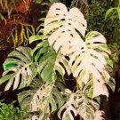 Eddy-Endah Store Palm Tree Turtle Leaves Monstera Variegated Seeds Rare Tree Mixed color Ornamental