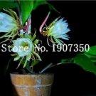 Eddy-Endah Store 100 Pcs Epiphyllum Anguliger Fishbone Succulent Zig Zag Cactus Hanging Plant Rare P