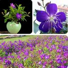 Eddy-Endah Store Rare Tibouchina Seecandra Bonsai Potted Plants Flowers Bonsai 100 Pcs/Pack Flowers