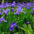 Eddy-Endah Store 20pcs Iris Bonsai Irises Flower Bonsai Perennial Beautiful Flowering Potted Plants