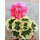 Eddy-Endah Store 20PCS Deep Red Geranium Bonsai Pretty Charming Flower Garden Pelargonium Peltatum P