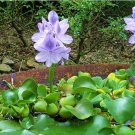 Eddy-Endah Store 100pcs Fresh Real shuihulu semillas - Eichhornia crassipes Aquatic Plants sementes