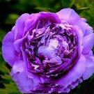 Eddy-Endah Store   5 Seeds Heirloom Big-leaf Hydrangea Purple Peony Tree Flowers Light Fragrant