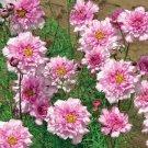 Eddy-Endah Store Cosmos Bipinnatus Double Bonbon Rose Pink Bicolour Perennial Flowers 50 Seeds