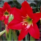 Eddy-Endah Store Hippeastrum Bulbs Bonsai Amaryllis Barbados Lily DIY Home Garden Lily Potted Bonsai
