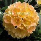 Eddy-Endah Store Clivia Miniata Bonsai Gorgeous Rare Bush Kefir Lily Flower Decorative Garden Plant