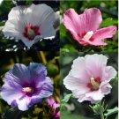 Eddy-Endah Store 100 pcs Hibiscus syriacus, Althaea, Rose Mallow Ketmie, Hardy Shrub