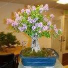 Eddy-Endah Store 50 Colorful Bonsai Lilac Plant Japanese Lilac (Extremely Fragrant) Clove Flower Bon