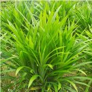 Eddy-Endah Store 50Pcs/Bag Fragrant Grass Seeds Annual Pandan Flower Potted Seeds Fragrant Spices DI