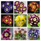 Eddy-Endah Store Loss Promotion! Genuine!!! 100 seeds/lot Fresh Rare Primrose Seeds Easy Planting fl