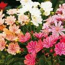 Eddy-Endah Store 5pcs/lot Lewisia Cotyledon 'Galaxy Mixed' Flower Seeds