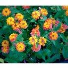 Eddy-Endah Store   Lantana Camara Flower Seeds, 50 Seeds / Pack, Umbelanterna Orange-Red Big-Sage We