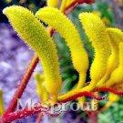 Eddy-Endah Store   Kangaroo Paw Rare Flowers Seeds, 20 Seeds, Heirloom Garden Annual Home Flowers E
