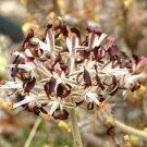 Eddy-Endah Store 10PCS Pelargonium Auritum Geranium Seeds, Bonsai Garden Ligulate Rounded Slightly S