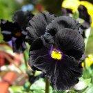 Eddy-Endah Store Viola Pansy Clear Chrystals Black 50 Seeds Garden Seeds