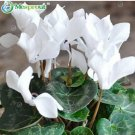 Eddy-Endah Store New Cyclamen Flower 100+ Seeds