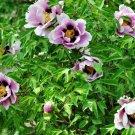 Eddy-Endah Store   'Black Pur' Peony Flower Seeds Pale White to Light Purple to Black Double Petals