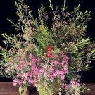 Eddy-Endah Store Geraldton Wax Seeds (Chamaelaucium uncinatum) 3 Seeds Pink Red