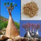 Eddy-Endah Store Adenium socotranum seeds 5 Seeds
