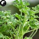 Eddy-Endah Store Pelargonium Graveolens Semente 100pcs Plant Herb Insect Repellent Grass