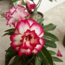 Eddy-Endah Store 16Types Adenium Seeds Red, White Red Stripe,White Red Edge ect Double Single Desert