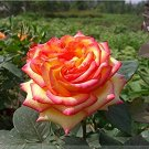 Eddy-Endah Store   Heirloom 'Mu Na' Golden Red Rose Shrub Flower Seeds, Professional Pack, 50 Seeds