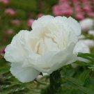 Eddy-Endah Store   'Bai Dew' Snow-white Peony Tree Flower Seeds, 5 Seeds / Pack, Light Fragrant Big