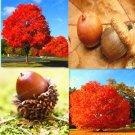 Eddy-Endah Store 10PCS Rare Red Oak Tree Seeds Bonsai Seeds Quercus Alba Acorns Seeds For DIY Home G