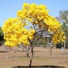Eddy-Endah Store   50PCS Rare Golden Trumpet Tree Plants Seeds Tabebuia Chrysotricha Seeds beautiful