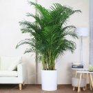 Eddy-Endah Store 5Pcs Chrysalidocarpus Lutescens Seeds Home Decoration Areca Palm seeds Indoor Plant