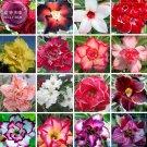 Eddy-Endah Store   Bonsai Adenium Mixed 16 Colors Big Blooms Flowers, 100pcs seeds/pack, desert rose