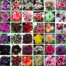 Eddy-Endah Store   Bonsai Adenium Mixed 36 Colors Colorful Flowers, 100pcsseeds/pack, desert rose bl