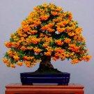 Eddy-Endah Store Bonsai Orange Pyracantha fortuneana Firethorn Perennial Tree Seeds 20pcs Ornamental