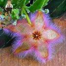 Eddy-Endah Store Exotic Rare Cactus Bonsai Stapelia Pulchella Bonsai Lithops Mix Succulents for Home