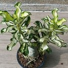 Eddy-Endah Store 200 Seeds 100% True Thailand Rare grafted Desert Rose Variegated Leaves Siam Potted