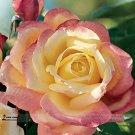 Eddy-Endah Store Hot Sale 1 Professional Pack, 50 Seeds/Pack, New Bella Roma Rose Bush Plant Seeds #