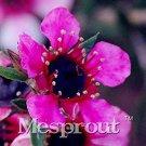 Eddy-Endah Store 100PCS Bonsai Flower Bonsai Leptospermum Scoparium Flamenco Angel's Trumpets Leptos