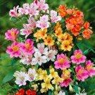Eddy-Endah Store 100pcs Alstroemeria Bonsai Peruvian Lily Alstroemeria Inca Bandit- Princess Lily Bo