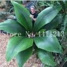 Eddy-Endah Store 10 Pcs/Bag Bottle Palm Tree Bonsai Exotic Bonsai Tree Tropical Ornamental Plant Bon