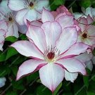 Eddy-Endah Store 50Pcs Garden Climbing Clematis Hybridas Flower Plants Vines Bonsai Flower Plants Pl