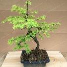 Eddy-Endah Store 100PCS Larch Bonsai Larix Tree Bonsai New Arrival Home Garden Plant Evergreen Land