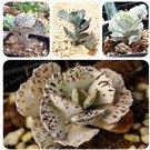 Eddy-Endah Store 100 Pcs Rare Kalanchoe Marmorata Bonsai Perennial Potted Plant Succulent Bonsai Pla