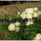 Eddy-Endah Store Rose Vine bonsais lings Being Miniature Rose Garden Landscaping 100 Flower Seed - (