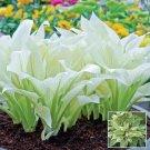 Eddy-Endah Store 100 pcs/bag hosta plants, hosta seeds, bonsai flower seeds DIY for home garden plan