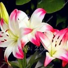 Eddy-Endah Store Kasuki Lily Holland Perfume Lilium Seeds Imported Lilies Rare Outdoor & Indoor Pere