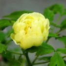 Eddy-Endah Store   'Qiu Huang' Ball-typed Yellow Peony Flowers Seeds Fresh Yellow Double Flowers 100