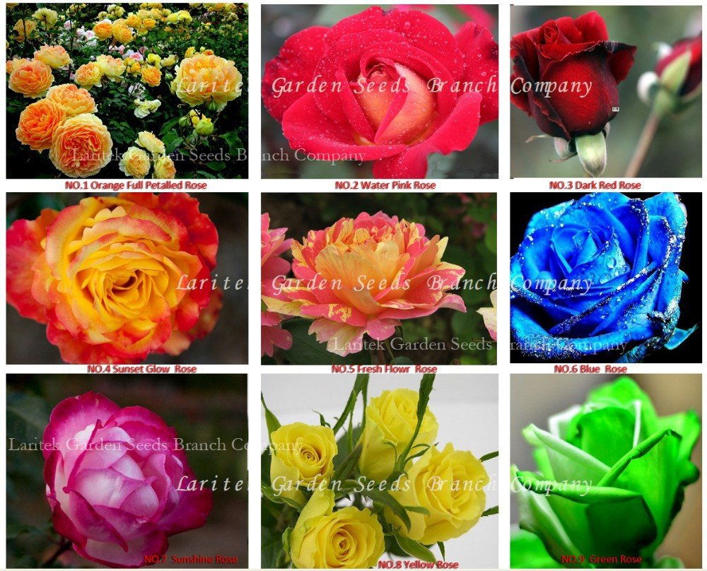 Eddy-Endah Store 1 lot New Rose Seeds, 9 Different Colors Rose, Professional packing, Heirloom Chine
