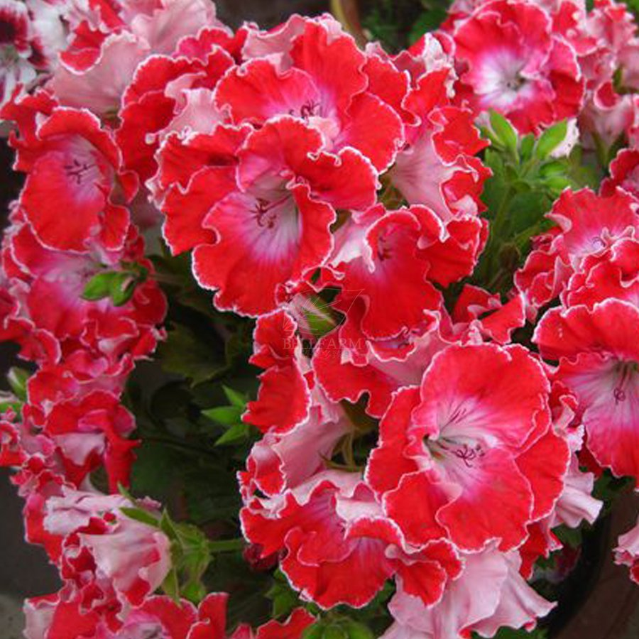 Eddy-Endah Store   Geranium Red Corrugated Double Petals with White Centre Flowers Seeds, 10 Seeds /