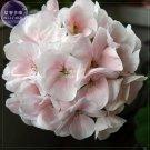 Eddy-Endah Store   Geranium White-to-light pink Hydrangea-typed Bonsai Flowers, 10 seeds/pack, big b