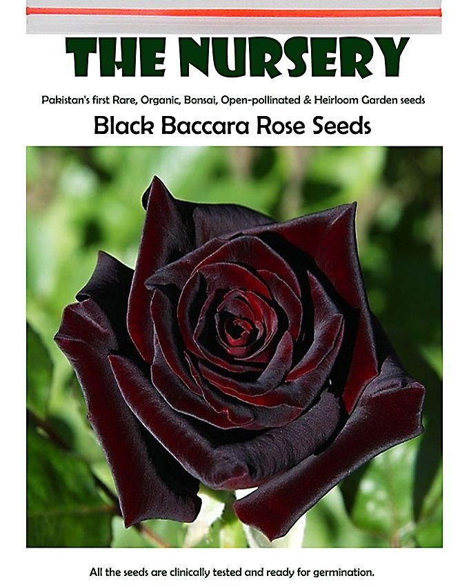 Eddy-Endah Store   Black Baccara Rose Seeds, 50 PCS, Professional Pack, Fragrant Perennial Home Gard